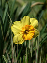 Free Yellow Daffodil Royalty Free Stock Photography - 720437