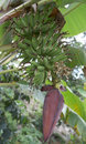 Free Banana Tree Royalty Free Stock Images - 720919