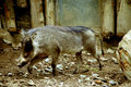 Free Wart Hog Stock Photography - 720992