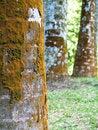Free Moss On Trees Stock Photos - 722073