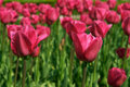 Free Two Pink Tulips Royalty Free Stock Photo - 724965