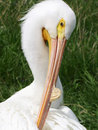 Free Pelican Grooming Royalty Free Stock Photos - 725158