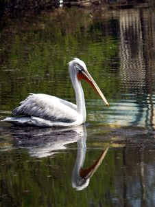 Free Great White Pelican - Pelecanus Onocrotalu Royalty Free Stock Photography - 720107
