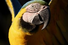 Free Close Up Macaw Royalty Free Stock Photography - 720407