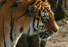 Free Siberian Tiger Stock Photo - 720420