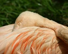Free Napping Flamingo Stock Photography - 720442