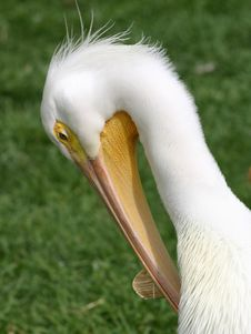 Free Grooming Pelican Stock Images - 720444