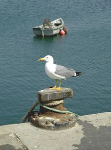 Free Gull Stock Photo - 720700