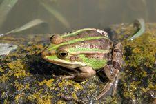 Free Frog Stock Photo - 720840