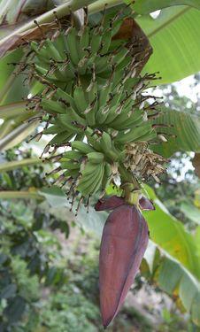 Free Banana Tree Royalty Free Stock Images - 720919