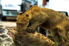 Free Lion Cub Stock Photography - 720942