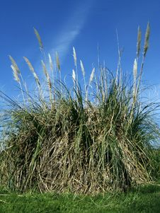 Free Pampas Grass Stock Photo - 722050