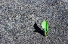 Free Tulip Stock Image - 722531