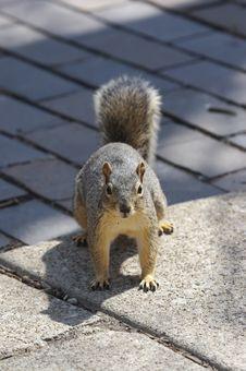 Free Squirrel Stock Image - 722911