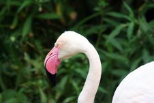 Free Shy Flamingo Royalty Free Stock Photos - 723578