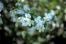 Free Blooming Apple-tree Stock Images - 723594