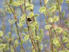Free Catkins And A Gadfly Royalty Free Stock Photo - 723995