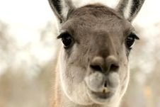 Free Lama Royalty Free Stock Photo - 724105