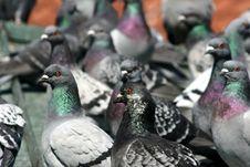 Free Pigeons Royalty Free Stock Image - 724136
