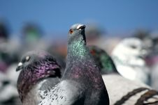 Free Pigeons Stock Photo - 724140