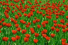 Free Red Tulips Field Royalty Free Stock Images - 724659