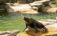 Free Sea Lion Royalty Free Stock Photography - 724687