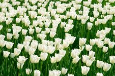 Free White Tulips Field Stock Photo - 725020