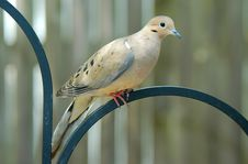 Free Perched Dove Royalty Free Stock Photography - 725147