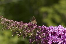 Hairstreak Butterfly Stock Image