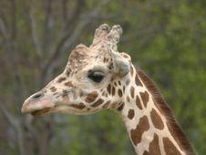 Free Giraffe Royalty Free Stock Image - 725266