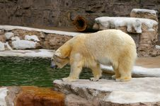 Free Polar Bear Stock Photo - 725440