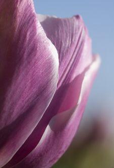Pink Tulip (Tulipa - Hermione - Peony Flowering Tulip) Stock Image