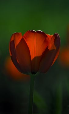 Red Tulip Glows In The Sun Royalty Free Stock Photography