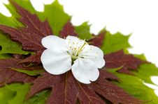 Maple Leaves 4 Royalty Free Stock Photography