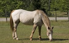 Free Appy Mare Grazing Stock Images - 726314