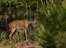 Free Deer Watching Stock Photography - 726362
