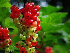 Free Almost Ripe Currant Cluster Royalty Free Stock Photography - 726937