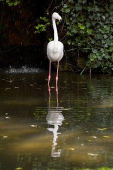 Free Flamingo Reflection Royalty Free Stock Photography - 727147