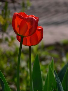 Free Red Tulips Stock Images - 727374
