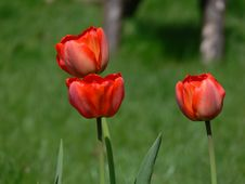 Free Red Tulips Royalty Free Stock Photography - 727397