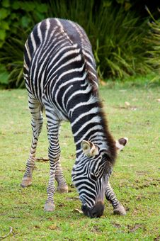 Grazing Baby Zebra Royalty Free Stock Photos
