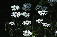 Free Spring Daisies Stock Photography - 728162