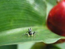 Free Spider On Green Leaf Stock Image - 729161