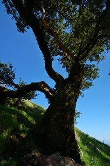 Free Mt Tamaplais Tree Royalty Free Stock Photo - 729755