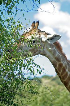 Free Giraffe Royalty Free Stock Photo - 729815