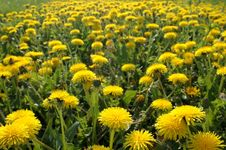 Free Field Of Blowballs Stock Photography - 729952