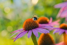 Free Bumblebee On A Flower Stock Photography - 72076462