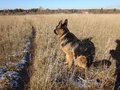 Free German Shepherd Dog In Sunny Autumn Day Royalty Free Stock Images - 72163029