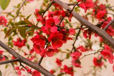 Free Red Blossom Royalty Free Stock Image - 72265136