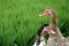 Free Duck Stock Photo - 7259090